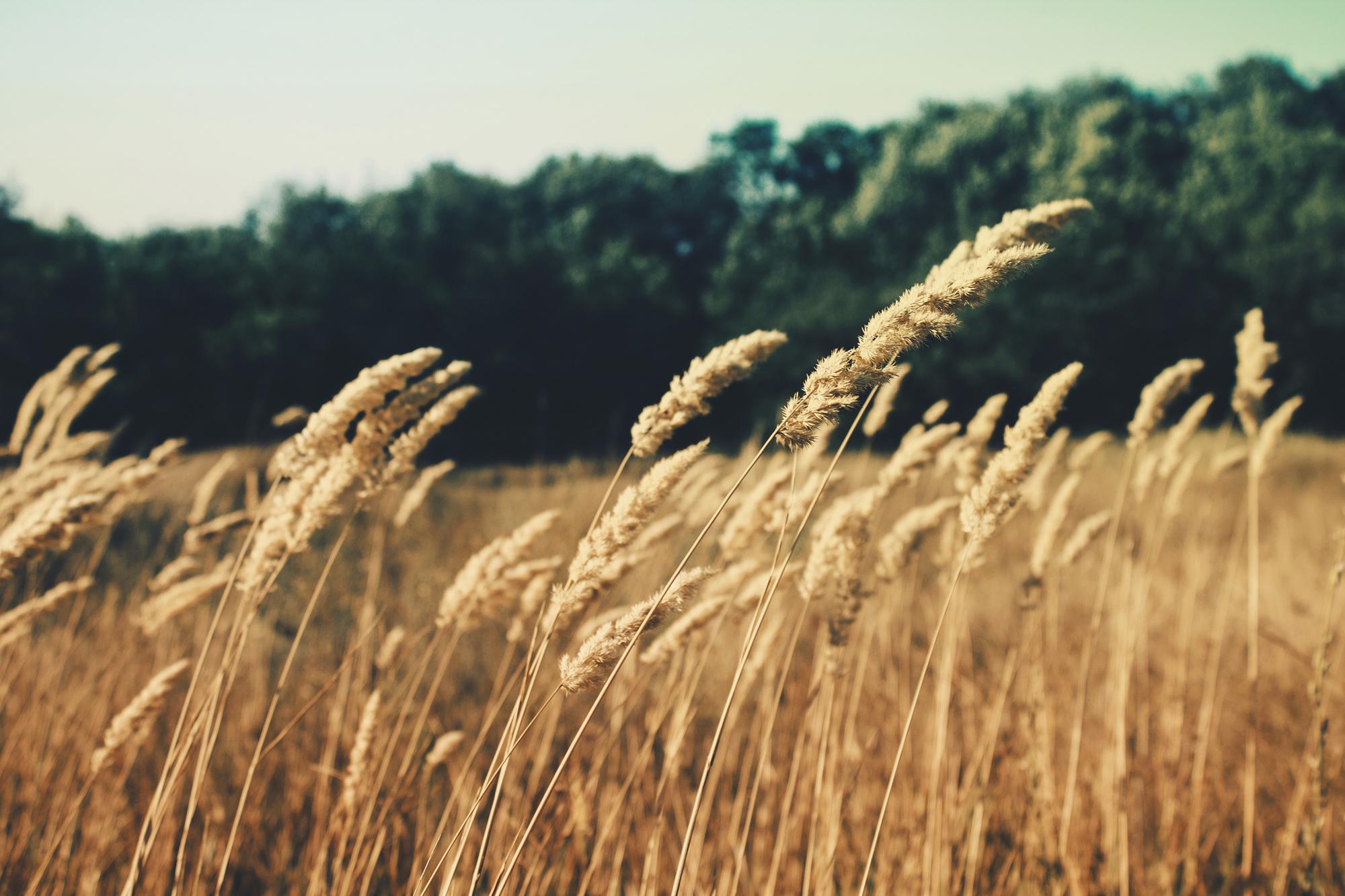 barley1